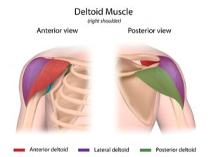 deltoid diagram
