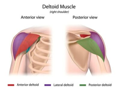 deltoid diagram front and back view