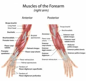 front and rear muscles of the forearm