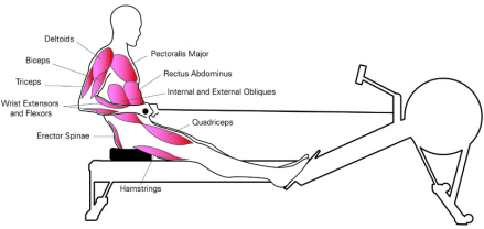 diagram showing the 12 muscles targeted by a rowing machine
